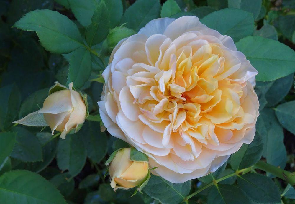花卉日记-101_图1-11