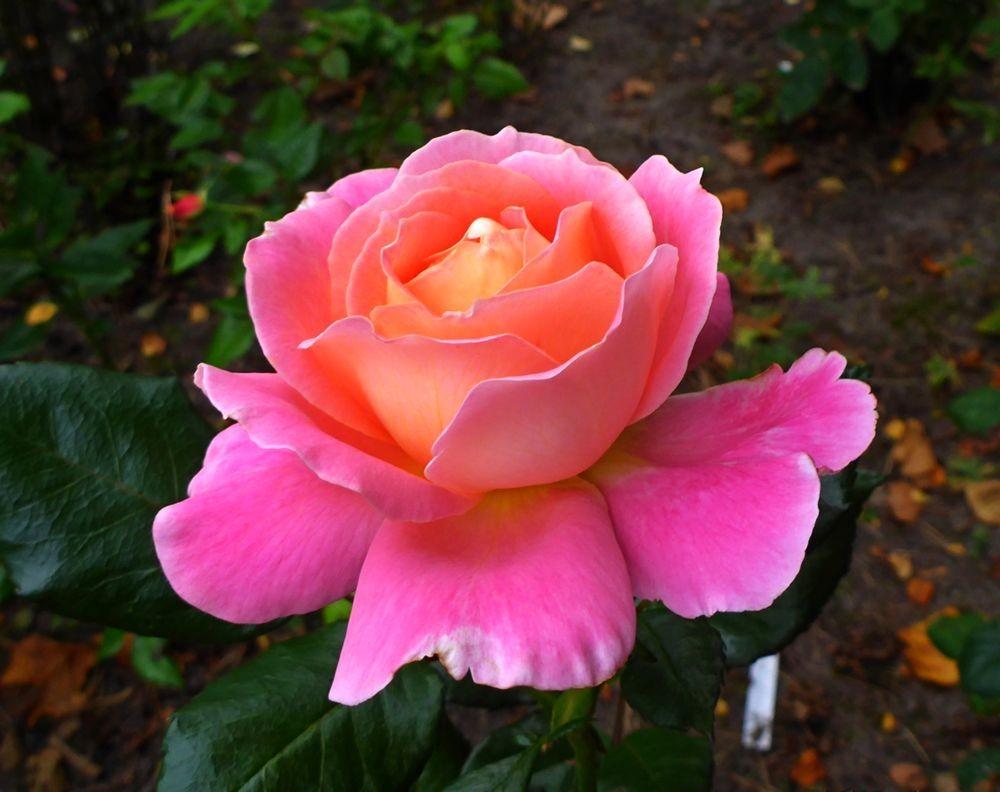 9月玫瑰花_图1-1