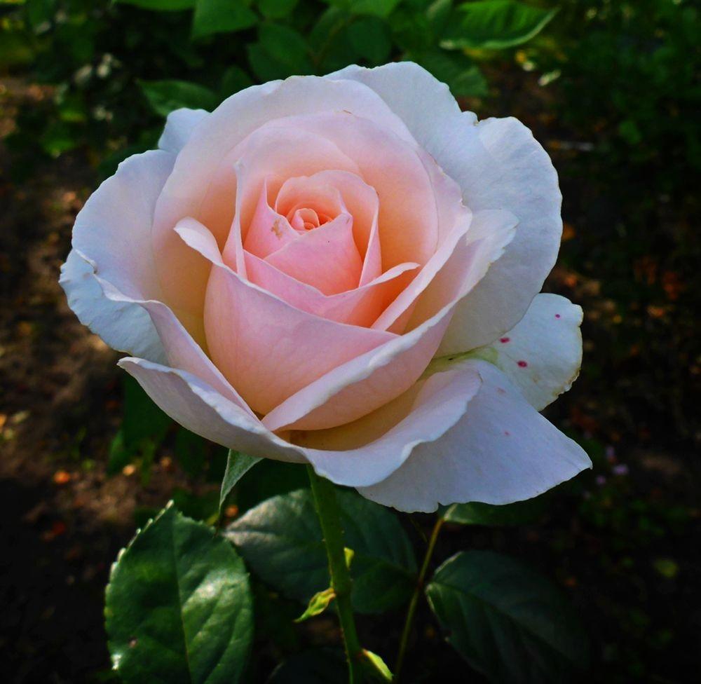 9月玫瑰花_图1-2