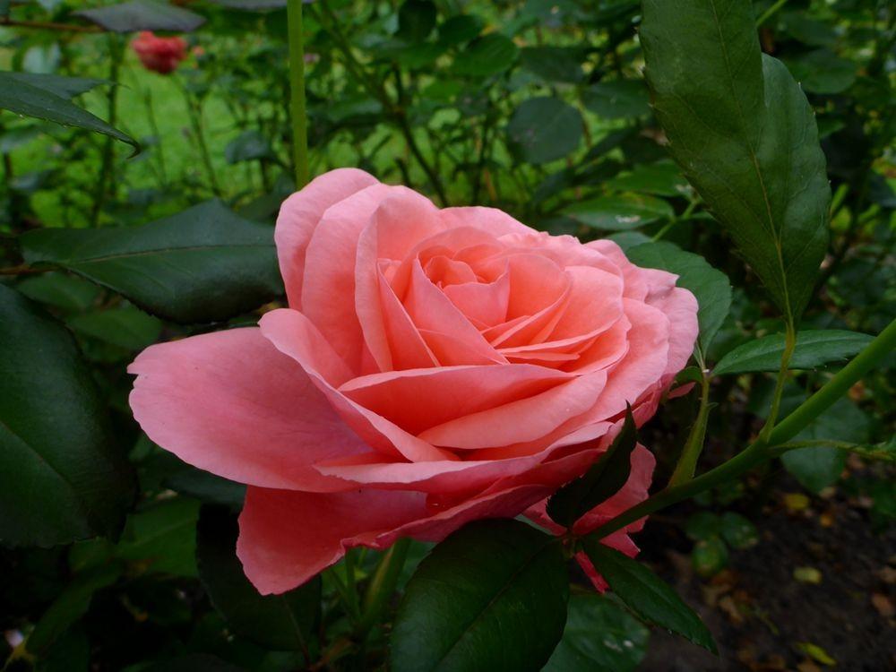 9月玫瑰花_图1-5
