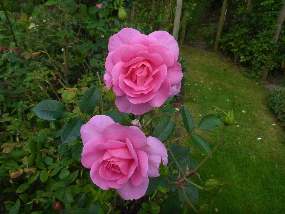9月玫瑰花_图1-6
