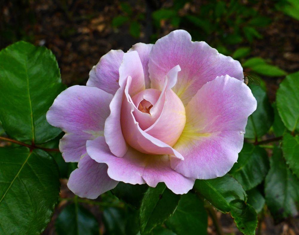 9月玫瑰花_图1-7