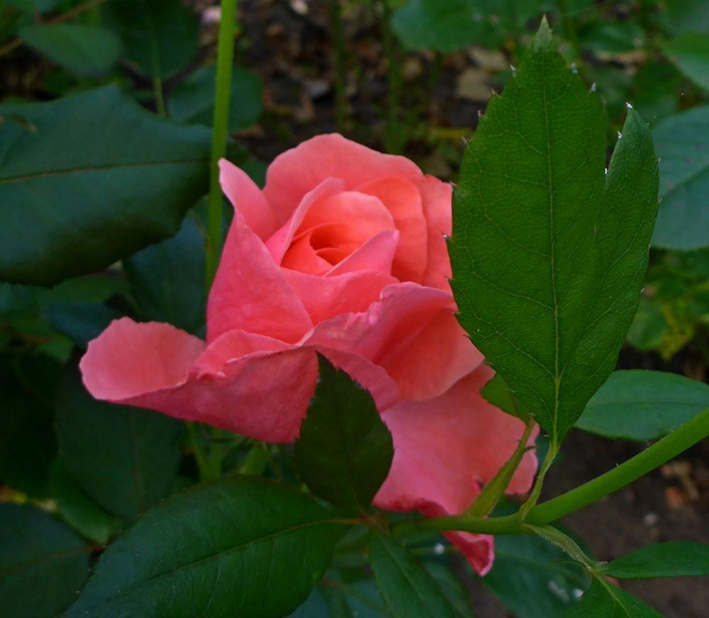 9月玫瑰花_图1-9