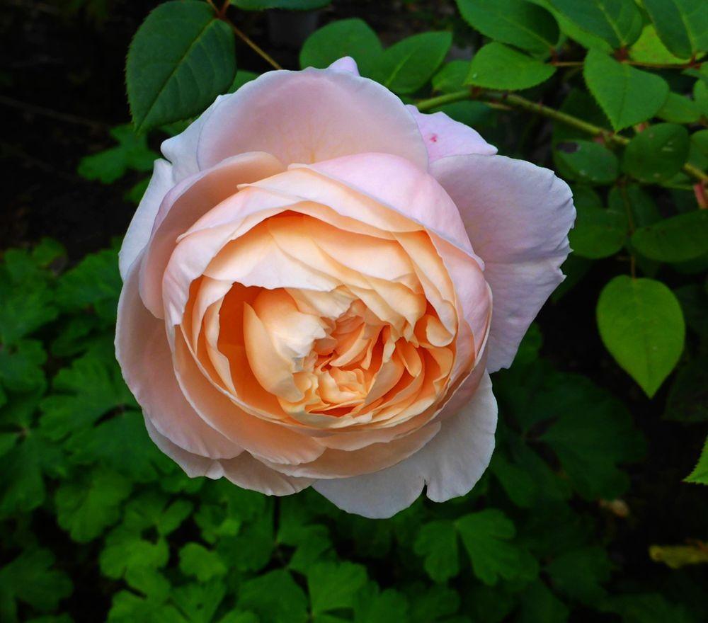 9月玫瑰花_图1-10