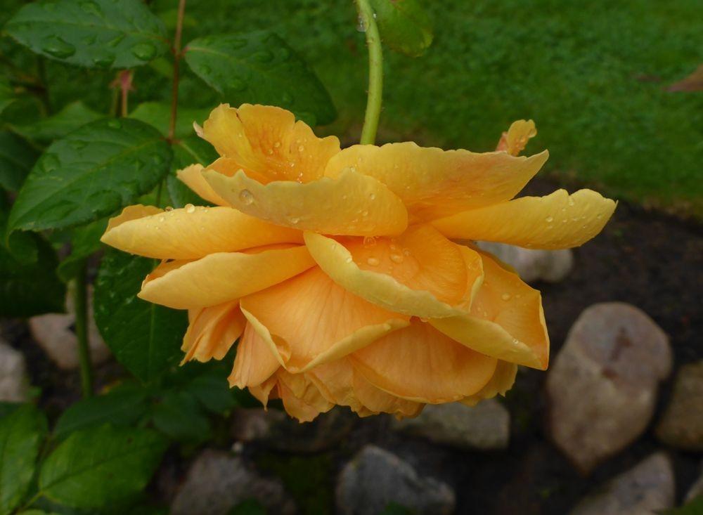 9月玫瑰花_图1-11