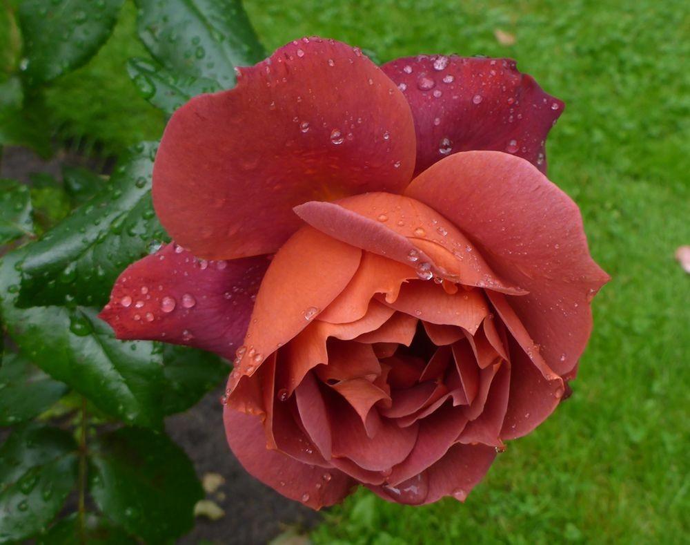 9月玫瑰花_图1-12