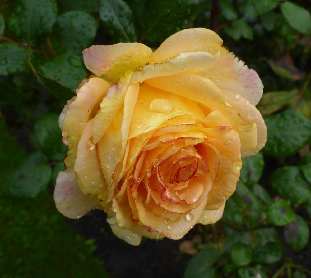 9月玫瑰花_图1-13
