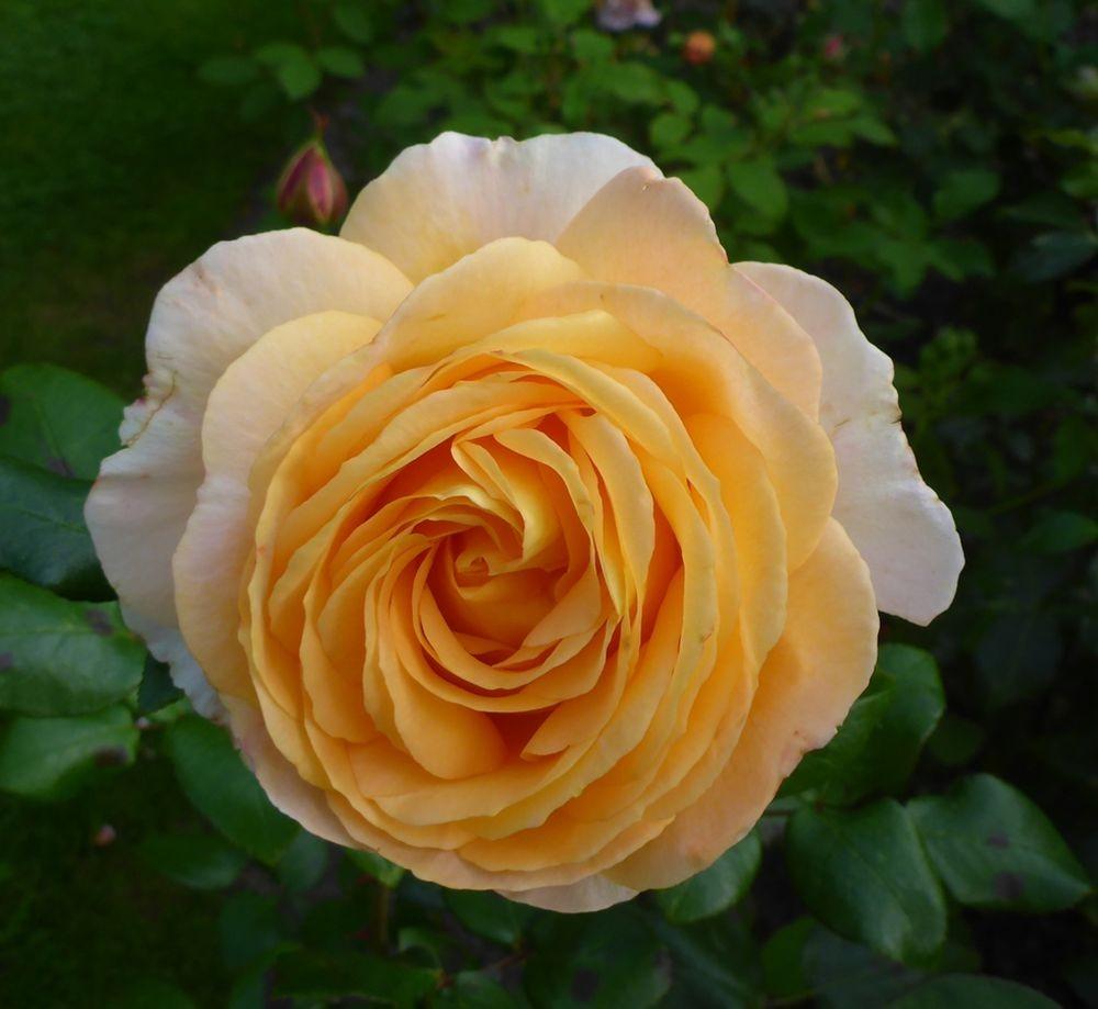 9月玫瑰花_图1-16