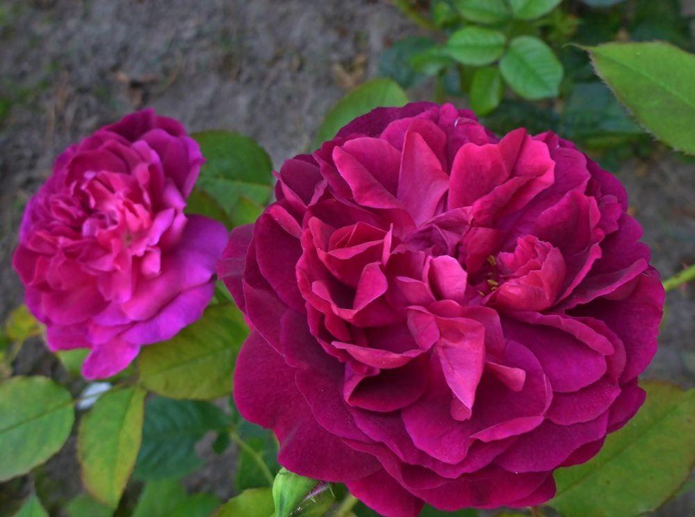 9月玫瑰花_图1-17