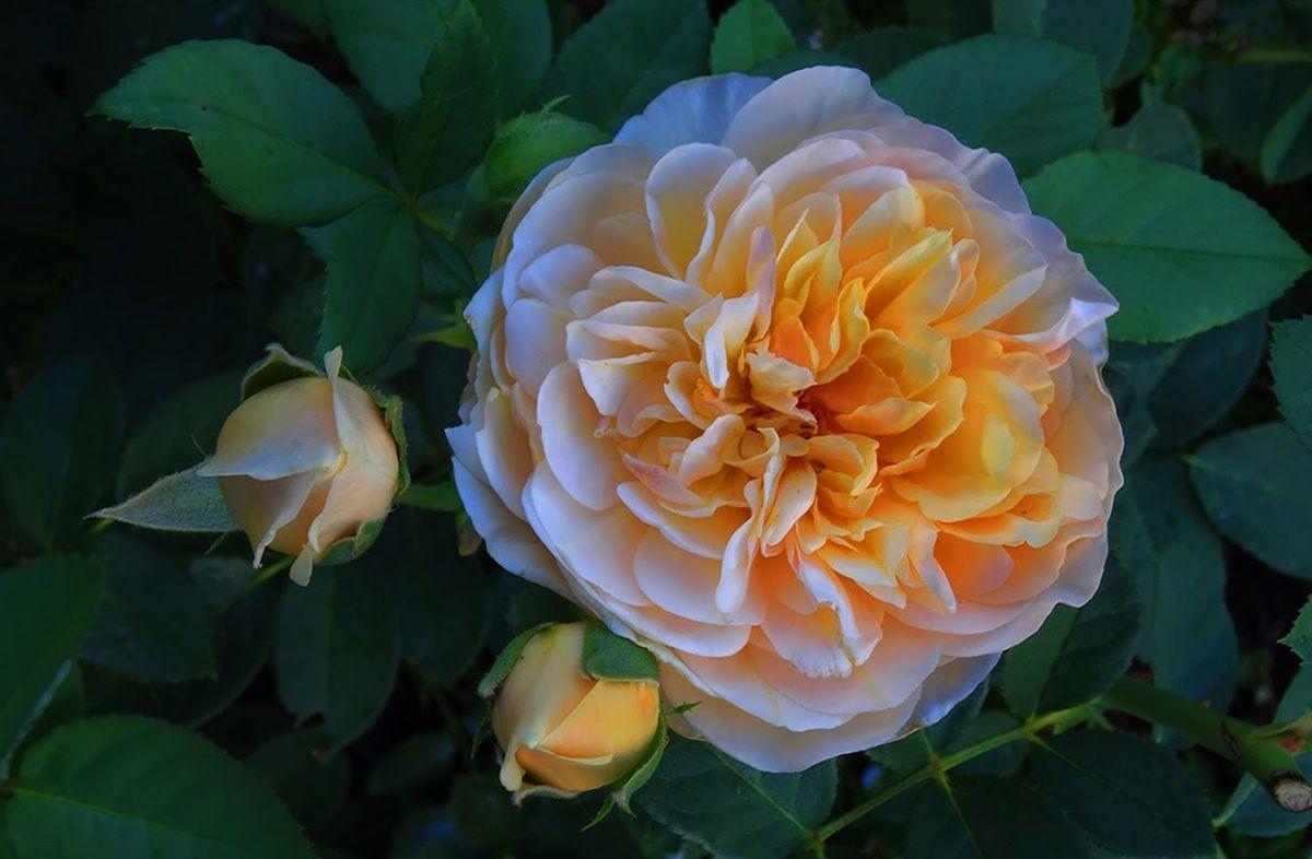 花卉日记-105_图1-22
