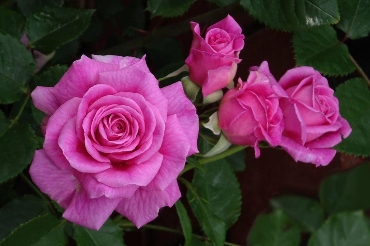 花卉日记-105_图1-23