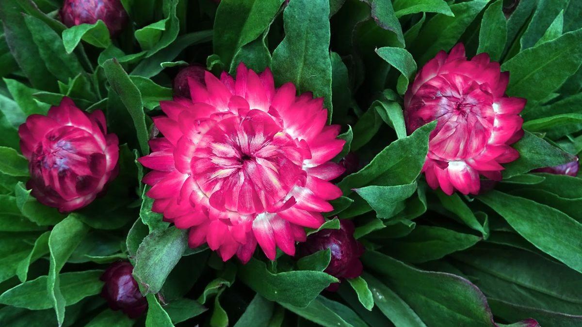 花卉日记-106_图1-16