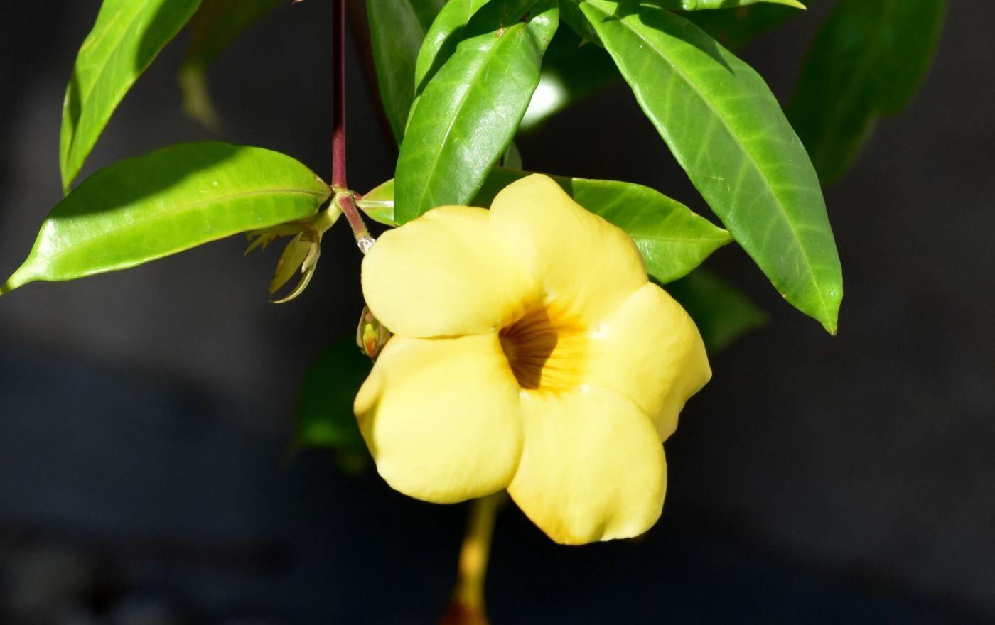 黄蝉、白蝉、紫蝉花_图1-1