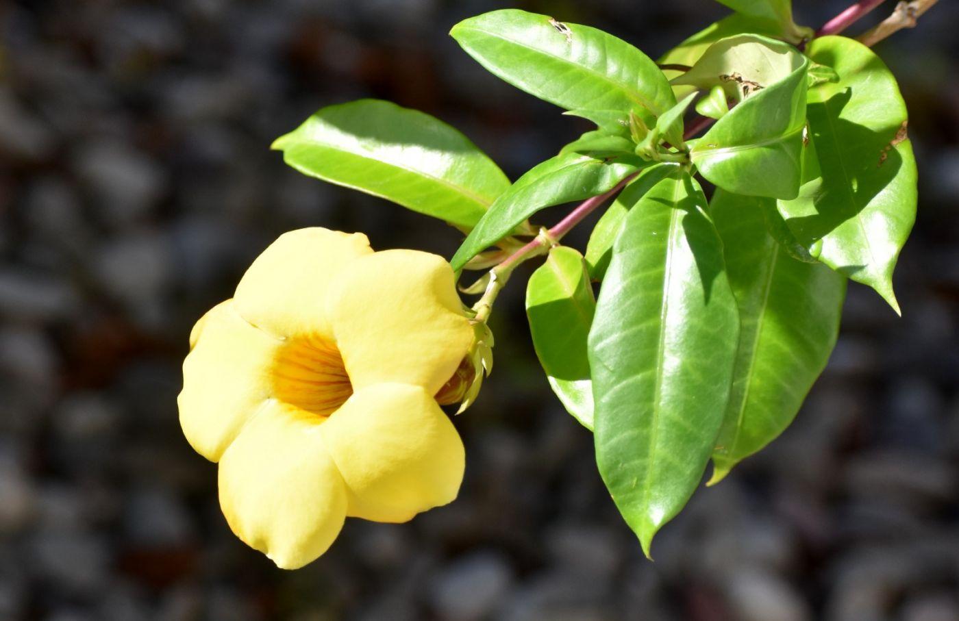 黄蝉、白蝉、紫蝉花_图1-2