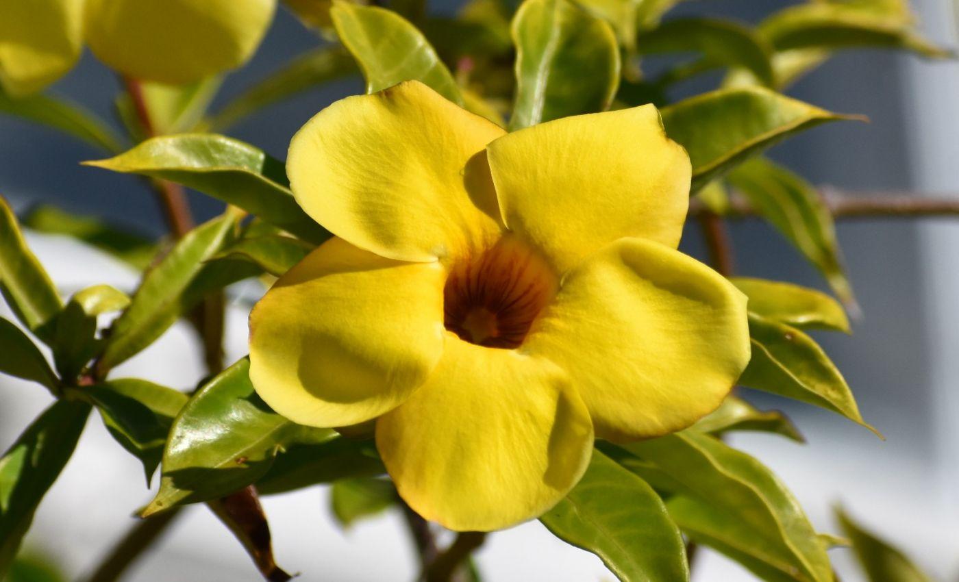 黄蝉、白蝉、紫蝉花_图1-3