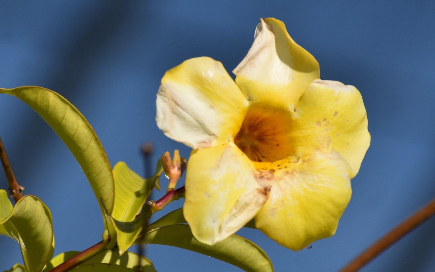 黄蝉、白蝉、紫蝉花_图1-4