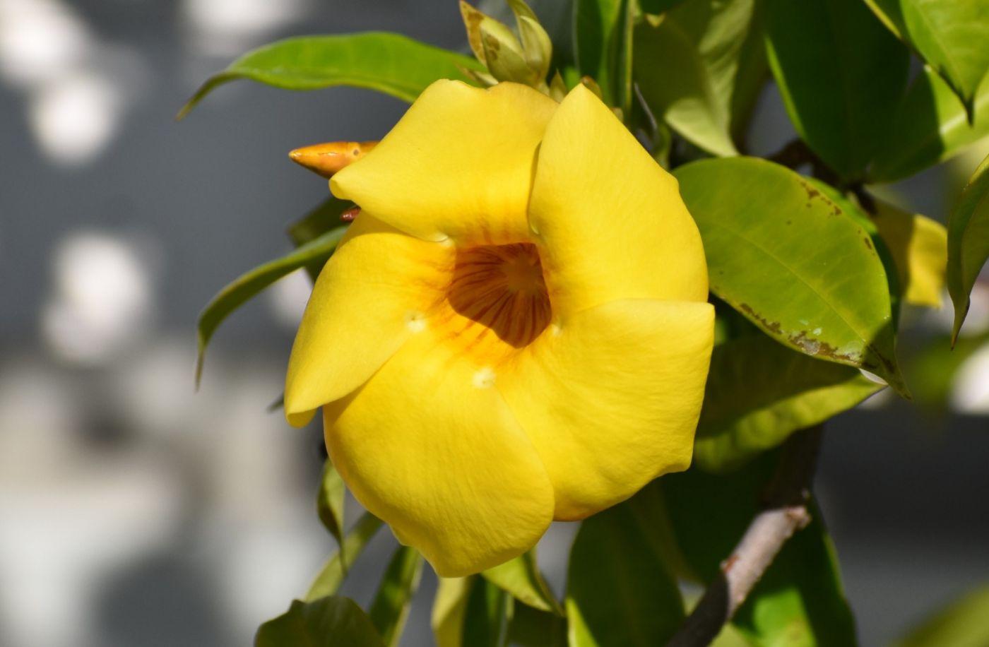 黄蝉、白蝉、紫蝉花_图1-5