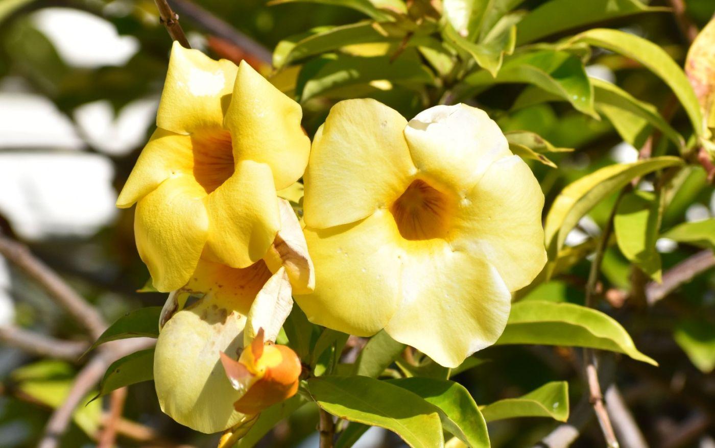 黄蝉、白蝉、紫蝉花_图1-6