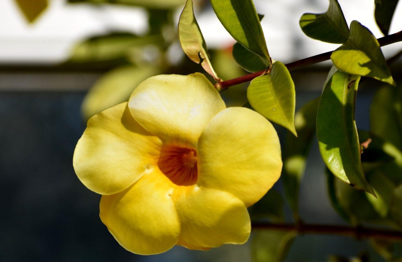 黄蝉、白蝉、紫蝉花_图1-7