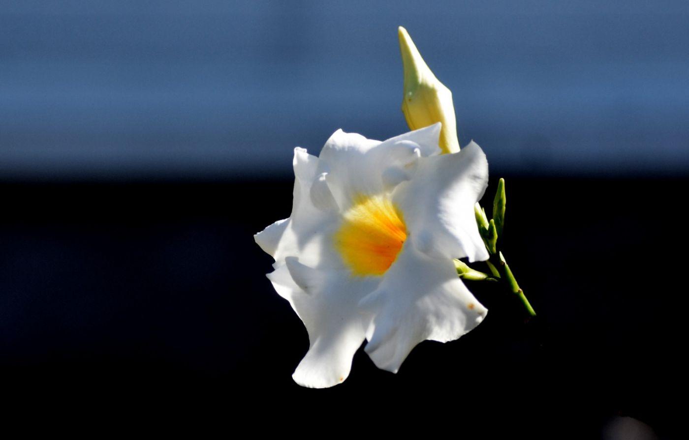 黄蝉、白蝉、紫蝉花_图1-8