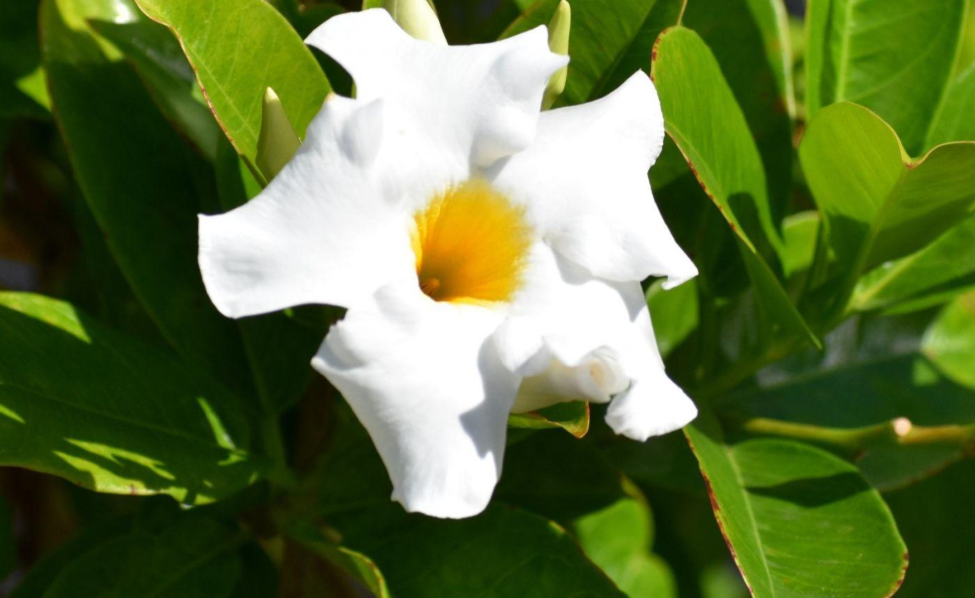 黄蝉、白蝉、紫蝉花_图1-10