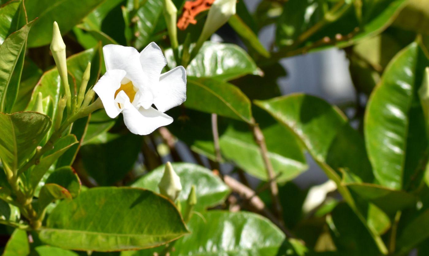 黄蝉、白蝉、紫蝉花_图1-11