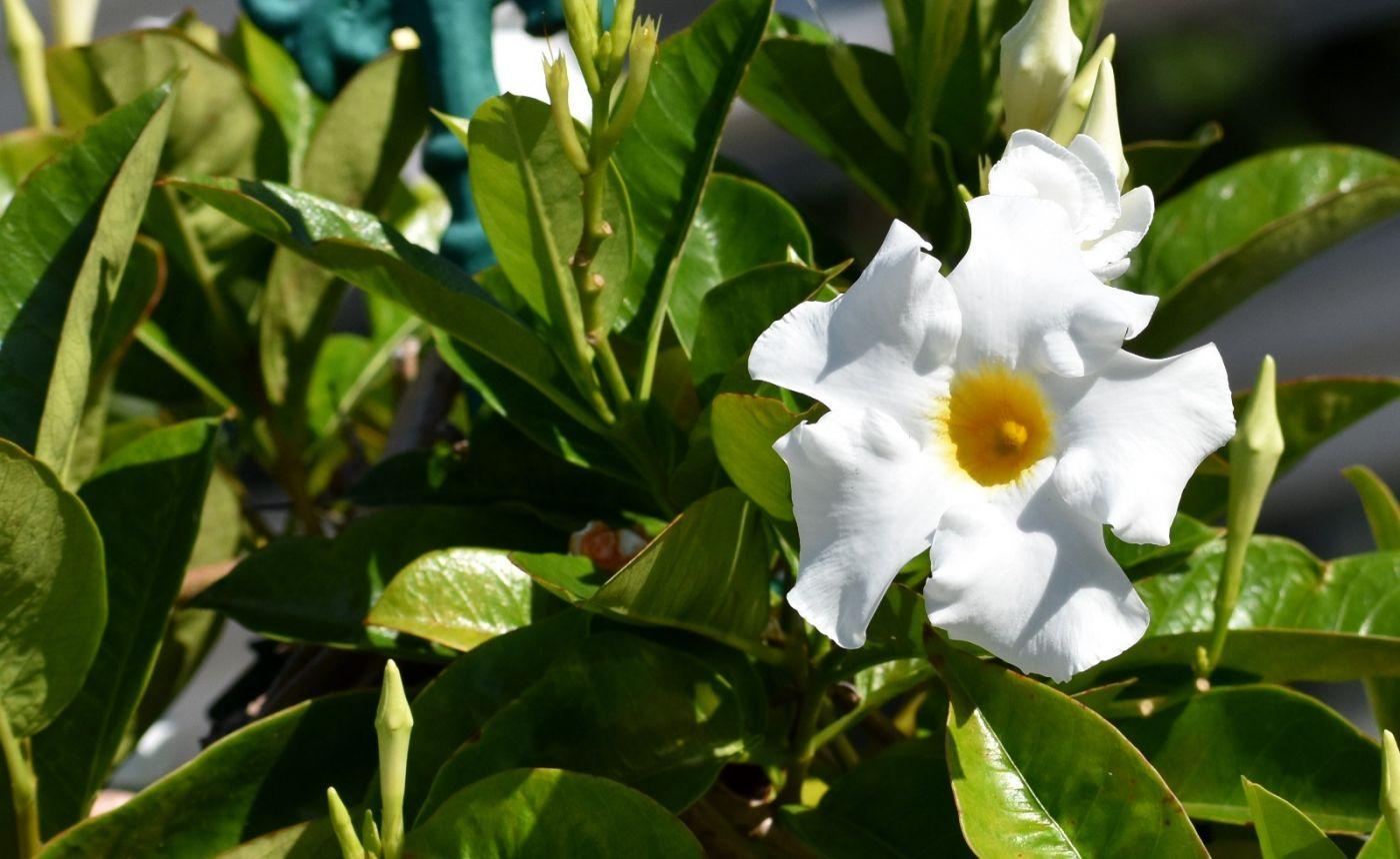 黄蝉、白蝉、紫蝉花_图1-12