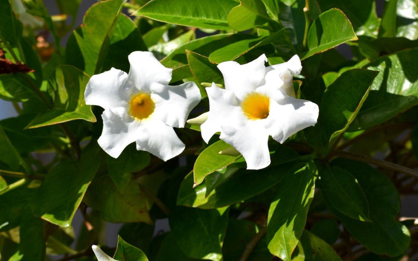 黄蝉、白蝉、紫蝉花_图1-13