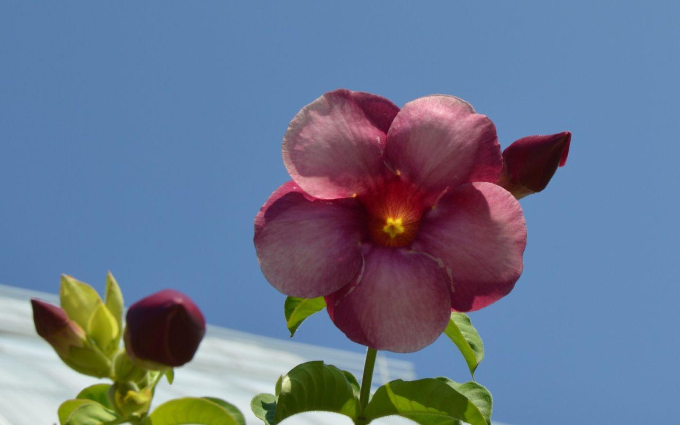 黄蝉、白蝉、紫蝉花_图1-17