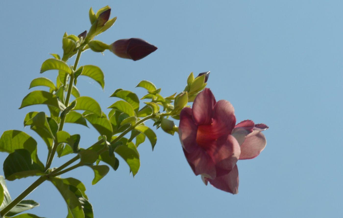 黄蝉、白蝉、紫蝉花_图1-18