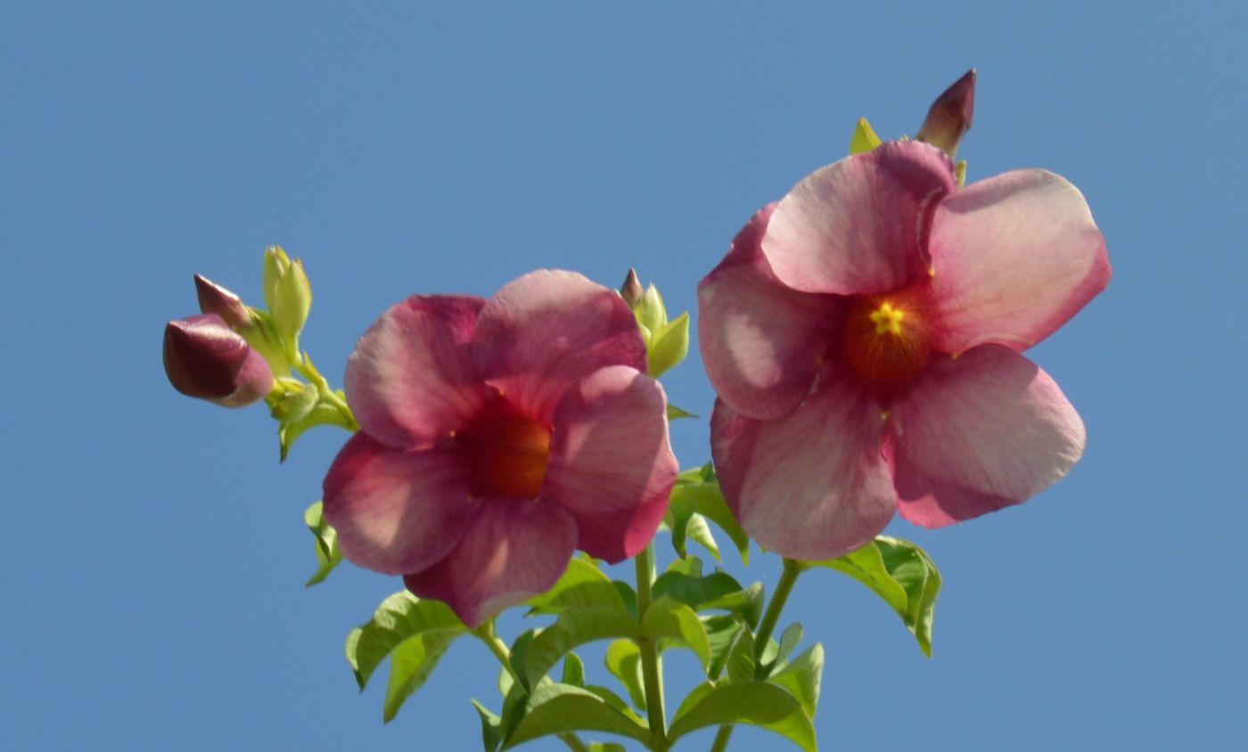 黄蝉、白蝉、紫蝉花_图1-20