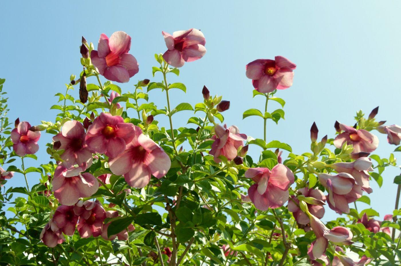 黄蝉、白蝉、紫蝉花_图1-21