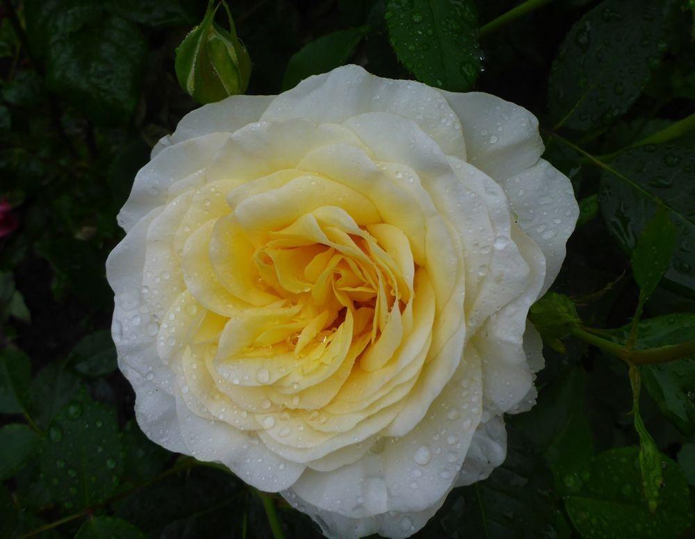 花卉日记-112_图1-16