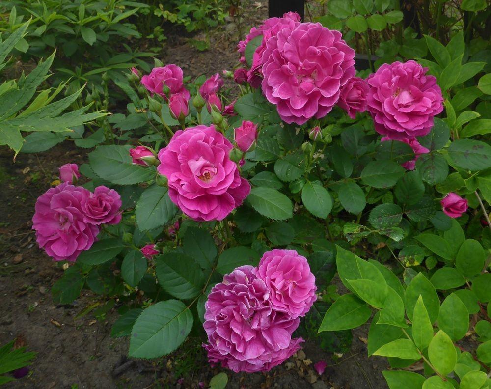 花卉日记-112_图1-17