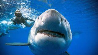 艺高人胆大!夏威夷一潜水员和鲨鱼亲密互动