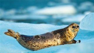 辽东湾百只斑海豹遭盗猎38只死亡:生殖器可入药 售价¥3万