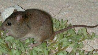 澳洲这种鼠成首个因气候变暖而灭绝的哺乳动物