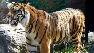 堪萨斯动物园老虎袭人,园方:它做了老虎该做的事