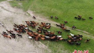 世界第一大马场甘肃山丹马场 马匹成群奔跑在祁连山下