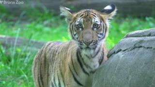世界首例!纽约布朗士动物园一只老虎新冠检测呈阳性
