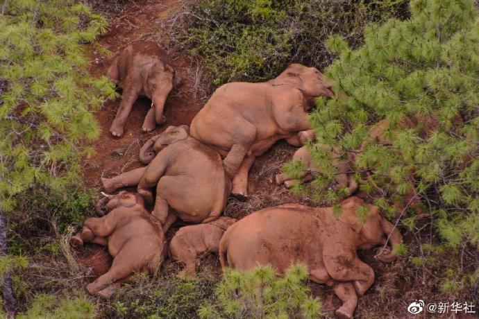 大象去哪儿?云南北迁独象离群10天 目前状态良好