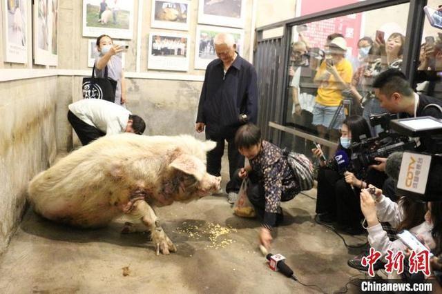 """汶川地震""""猪坚强""""去世 曾在废墟下被埋36天"""