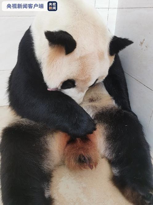 """""""海归""""大熊猫顺利产崽 喜迎两胎四崽熊猫宝宝"""