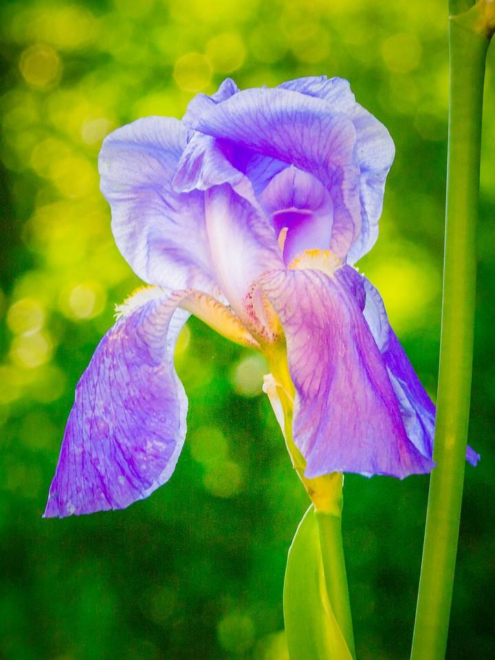 鸢尾花,光彩夺目