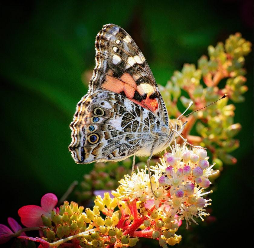 蝴蝶.蜜蜂