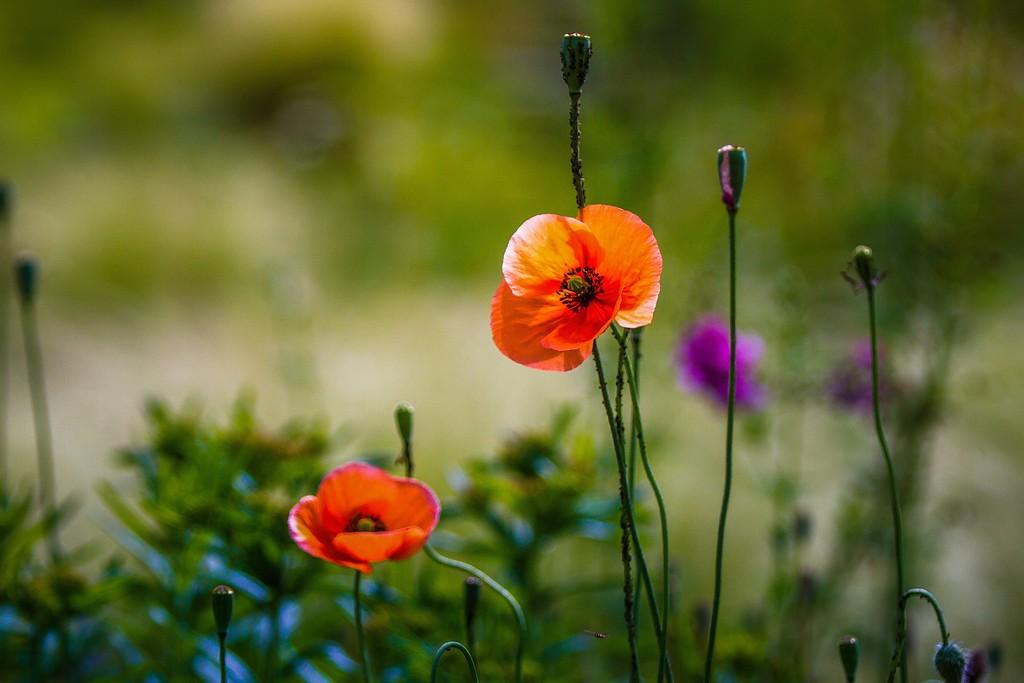 罂粟花,妖娆妩媚