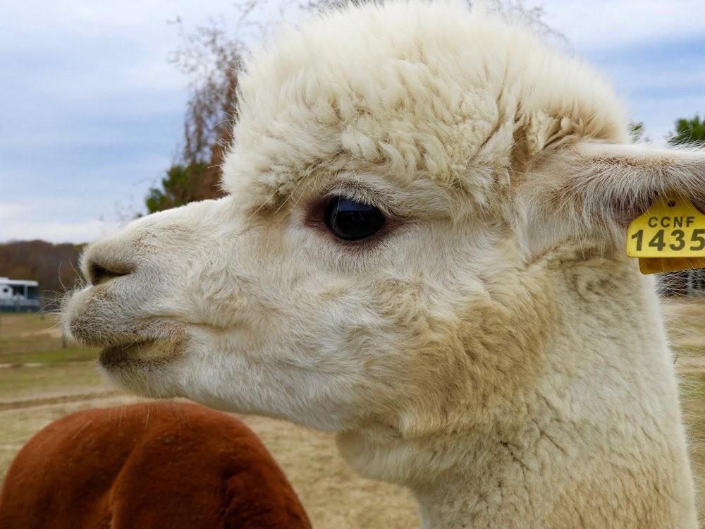 阿罗英亩农场见羊驼
