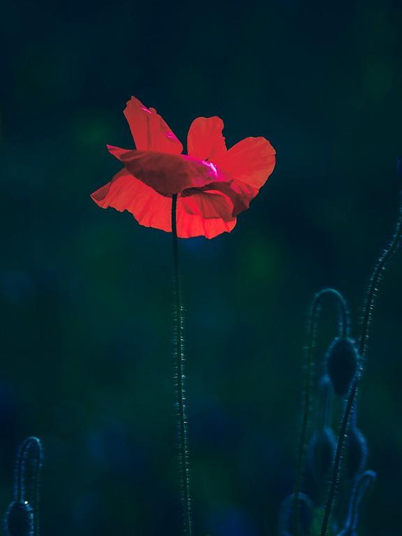 罂粟花,光彩迷人