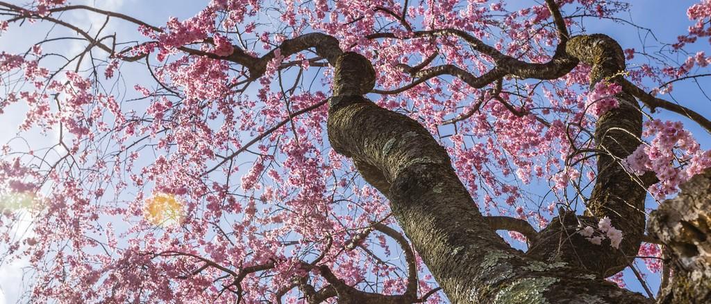 樱花,盛开的季节