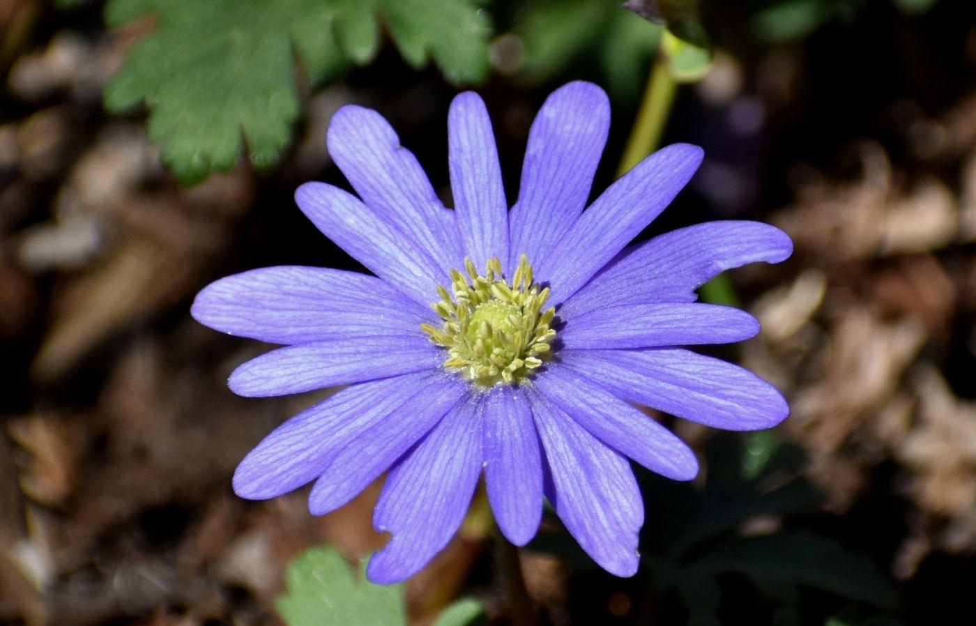 希腊银莲花